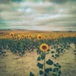 sunflowers camino frances